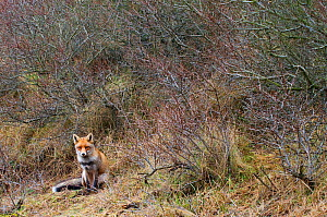 Red fox (Vulpes vulpes) sitting, The Netherlands, March - Edwin Giesbers