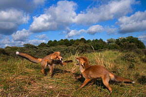 Two Red fox (Vulpes vulpes) cubs, four months, play fighting, The Netherlands, June - Edwin Giesbers