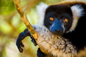 Black and white ruffed lemur (Varecia variegata variegata) portrait, Captive, Madagascar, Critically endangered  -  Inaki Relanzon