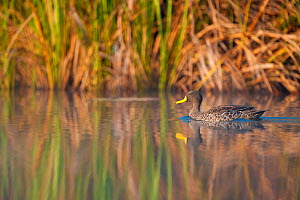 Yellow-billed duck (Anas undulata) on water, Lake Bunyony, Uganda, Africa, July  -  Inaki Relanzon