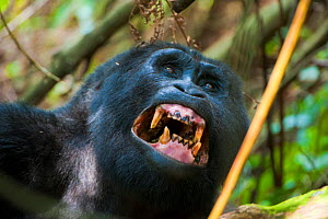 Mountain gorilla (Gorilla beringei) showing stained teeth, Bwindi Impenetrable Forest National Park, Uganda, Critically endangered, July 2011  -  Inaki Relanzon