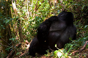 Rear view of Mountain gorilla (Gorilla beringei) lying down, Bwindi Impenetrable Forest National Park, Uganda, Critically endangered, July 2011  -  Inaki Relanzon