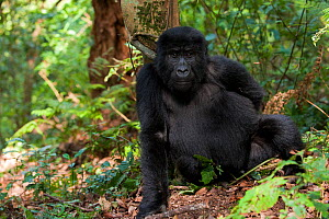 Mountain gorilla (Gorilla beringei) sitting, Bwindi Impenetrable Forest National Park, Uganda, Critically endangered, July 2011  -  Inaki Relanzon