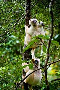 Three Silky sifakas (Propithecus candidus) including a juvenile clinging to adults back on tree trunk, Marojejy National Park, North Madagascar, Critically endangered, November 2010  -  Inaki Relanzon