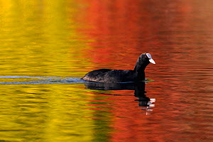 Coot (Fulica atra) swims on lake with colourful autumnal tree leaves reflected in the water around its own reflection, Wiltshire, UK, October  -  Nick Upton