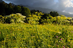 Wild Fennel (Foeniculum vulgare) and Wild carrot (Daucus carota) umbels flowering in a traditional hay meadow with heavily forested Julian Alps in the background, in sunset light, Slovenia, July  -  Nick Upton