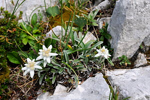 Edelweiss (Leontopodium alpinum) flowering among limestone boulders at 1800m in the Julian Alps, Triglav National Park, Slovenia, July  -  Nick Upton