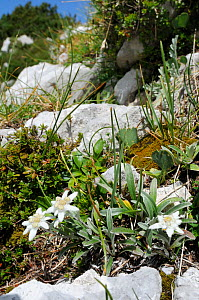 Edelweiss (Leontopodium alpinum) flowering among limestone boulders at 1800m with Dwarf pine trees (Pinus mugo) in the background, Triglav National Park, Julian Alps, Slovenia, July  -  Nick Upton