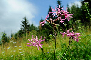 Ragged robin (Silene flos-cuculi) flowering in a traditional hay meadow at 1200m, Julian Alps, Slovenia, July  -  Nick Upton