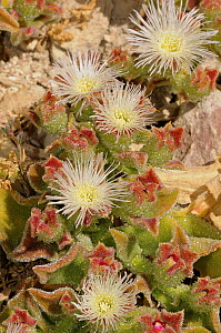 Ice plant (Mesembryanthemum crystallinum) flowering, DeHoop Nature Reserve, Western Cape, South Africa, November - Tony Phelps