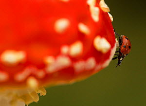 Seven-spot Ladybird (Coccinella septempunctata) on fly agaric (Amanita muscaria). Sheffield, UK, September. - Paul Hobson