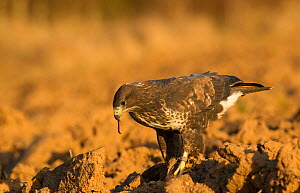 Common Buzzard (Buteo buteo) taking worms from a ploughed field. Controlled conditions. Yorkshire, UK, November.  -  Paul Hobson