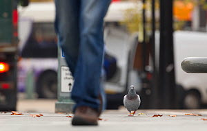 Feral Pigeon / Rock Dove (Columba livia) on city street. Sheffield, UK.  -  Paul Hobson