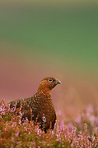 Red Grouse (Lagopus lagopus scoticus) in Heather. Peak District, UK, August.  -  Paul Hobson