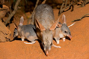Greater bilby (Macrotis lagotis) female with two babies, vulnerable species, captive, Adelaide Zoo, South Australia - Roland Seitre
