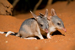 Greater bilby (Macrotis lagotis) two babies, vulnerable species, captive, Adelaide Zoo, South Australia - Roland Seitre