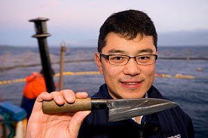Japanese tuna expert with traditional cutting knife to evaluate fish quality by a cut at the base of the tail, Southern bluefin tuna (Thunnus maccoyi) in fish farm, MFE Tuna farming, Port Lincoln, Sou...  -  Roland Seitre