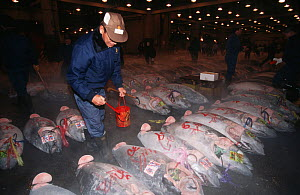 Southern bluefin tuna (Thunnus maccoyii) for sale on the fresh fish market in Tokyo 24 hours after culling from a fish farm off Southern Australia. Man preparing fish for the auction, Japan.  -  Roland Seitre
