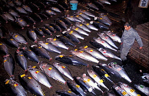 Southern bluefin tuna (Thunnus maccoyii) for sale on the fresh fish market in Tokyo, Japan, 24 hours after culling from a fish farm off Southern Australia.  -  Roland Seitre