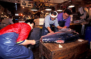 Southern bluefin tuna (Thunnus maccoyii) for sale on the fresh fish market auction in Tokyo, Japan, 24 hours after culling from a fish farm off Southern Australia.  -  Roland Seitre