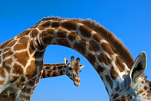 Rothschild's giraffe (Giraffa camelopardalis rothschildi) two curious giraffes looking down, captive - Edwin Giesbers