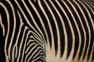 Grevy's zebra (Equus grevyi) close up of stripes, captive - Edwin Giesbers