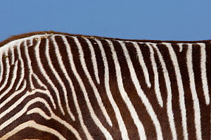 Grevy's zebra (Equus grevyi) close up of back stripes, captive - Edwin Giesbers