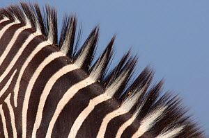 Grevy's zebra (Equus grevyi) close up of mane hair and stripes, captive - Edwin Giesbers