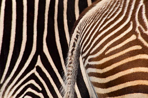 Grevy's zebra (Equus grevyi) abstract view of paler foal stripes against adult darker stripes, captive - Edwin Giesbers