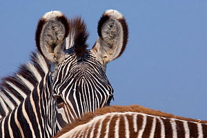 Grevy zebra (Equus grevyi) partial head portrait over back of foal, captive - Edwin Giesbers