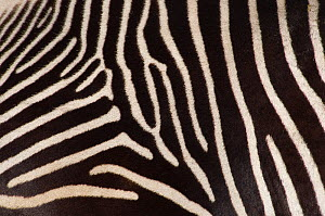 Grevy zebra (Equus grevyi) close up of stripes, captive - Edwin Giesbers