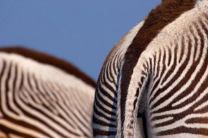 Grevy zebra (Equus grevyi) abstract view of rear end, captive - Edwin Giesbers