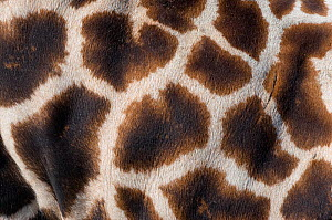 Rothschild's giraffe (Giraffa camelopardalis rothschildi) close up of young calf skin pattern, captive - Edwin Giesbers