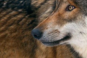 Grey wolf (Canis lupus) close up, captive  -  Edwin Giesbers