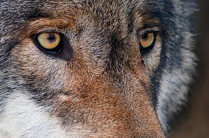 Grey wolf (Canis lupus) close up portrait, captive  -  Edwin Giesbers