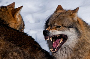Grey wolf (Canis lupus) individuals showing submissive and aggressive behaviour, captive  -  Edwin Giesbers