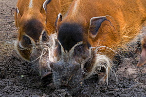 Red river hogs (Potamochoerus porcus) foraging in mud, captive  -  Edwin Giesbers