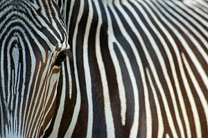 Grevy's zebra (Equus grevyi) abstract view of head and stripes, captive - Edwin Giesbers