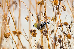 American Goldfinch (Carduelis tristis) female feeding on flower seeds, Bosque del Apache, New Mexico, USA, November  -  Konrad Wothe