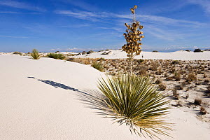 Soaptree / Yucca (Yucca elata) flowering on  gypsum dune field, White Sands National Park, New Mexico, USA, November  -  Konrad Wothe