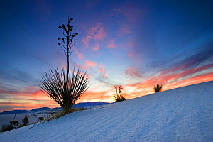 Soaptree Yucca (Yucca elata) flowering on  gypsum dune field, sunset, White Sands National Park, New Mexico, USA, November  -  Konrad Wothe