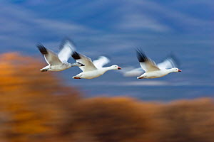 Three Snow Geese (Chen caerulescens atlanticus / Chen caerulescens) in flight, Bosque del Apache, New Mexico, USA, November - Konrad Wothe
