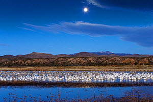Mixed flock of Snow geese (Chen caerulescens atlanticus / Chen caerulescens) and Sandhill cranes (Grus canadensis) at wintering area at dawn, with full moon, Bosque del Apache, New Mexico, USA, Novemb...  -  Konrad Wothe