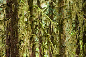 Sitka spruce (Picea sitchensis) trees covered in lichen, temperate rainforest, Hoh Rainforest, Olympic National Park, Washington, USA, August - Konrad Wothe