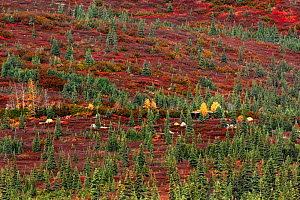 Tents in Wonder Lake Camp, in upland forest tundra, Denali National Park. Alaska, USA, September 2009 - Konstantin Mikhailov