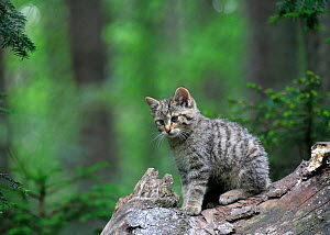 European wild cat (Felis silvestris) kitten sitting, Bavarian Forest National Park, Germany, May - Konstantin Mikhailov