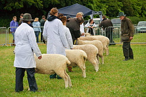 Judge inspecting Cotswold Lion rare breed sheep at the Cotswold Farm Show, Cirencester, UK, July 2008.  -  Nick Turner