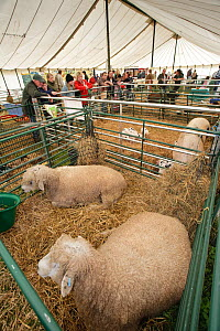 Cotswold Lion rare breed sheep in pens at the Cotswold Farm Show, Cirencester, UK, July 2008. - Nick Turner