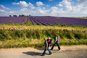 Two female walkers carrying young children beside Lavender fields, Snowshill Lavender Farm, Gloucestershire, UK, July 2008. - Nick Turner