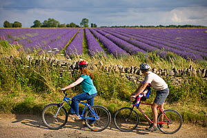 Cyclists riding past lavender fields, Snowshill Lavender Farm, Gloucestershire, UK, July 2008. - Nick Turner